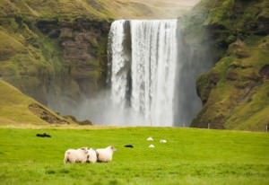 Iceland Waterfall Sheep